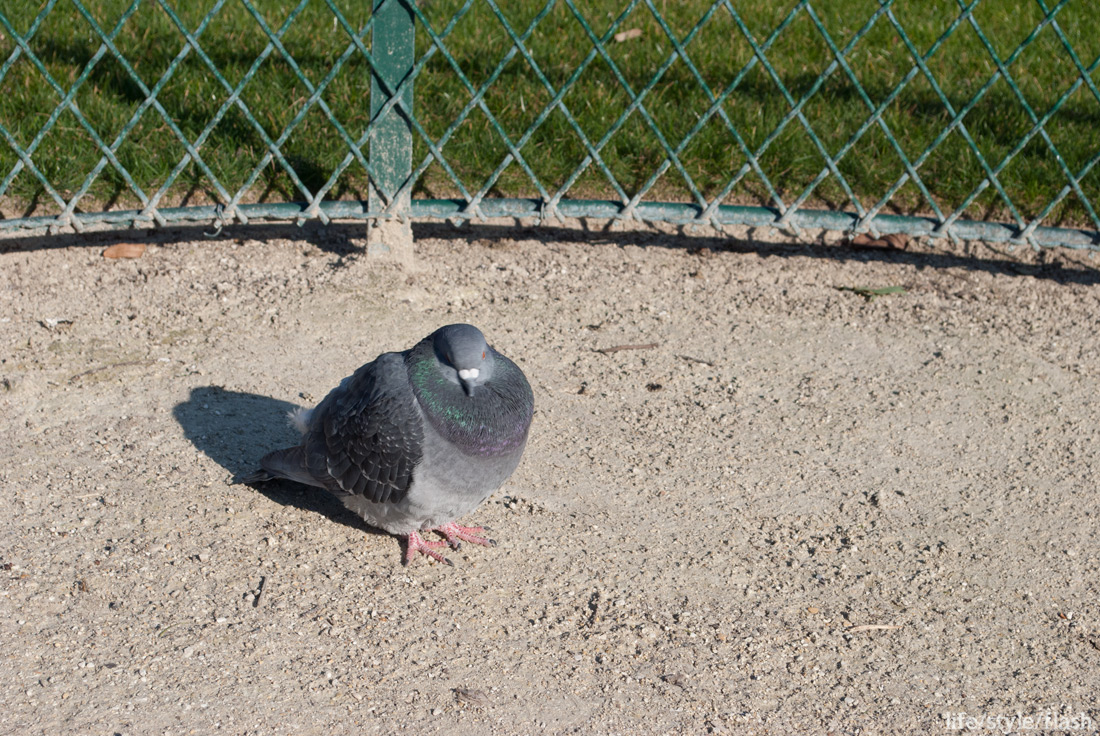 Puffed up pigeon