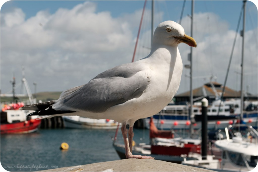 Cornwall: huge seagull in Padstow