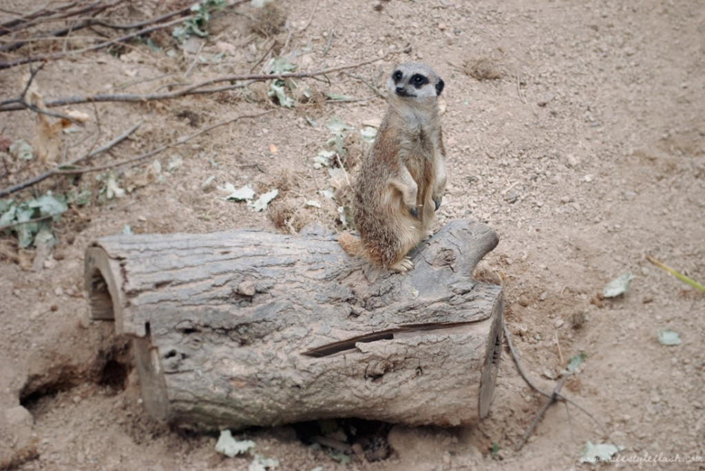 A meerkat looking out at London Zoo Lates